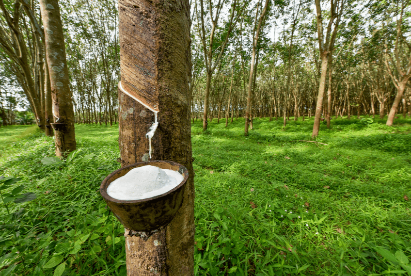 latex being poured from rubber tree